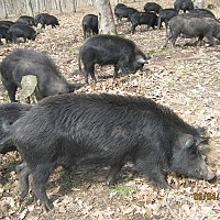 Неков: Има реален риск за ловния туризъм и за отглеждането на Източнобалканската свиня у нас, Еврокомисията да задели средства за борба с опасната чума по дивите свине