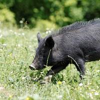 Неков: Месото от уникалната за България Източнобалканска свиня е още една крачка по-близо до европейска защита за качество